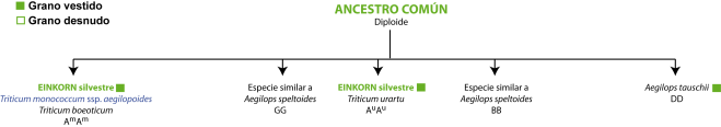 Evolución trigos II