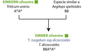 Evolución trigos IIIb