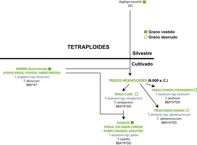 Evolución trigos IV